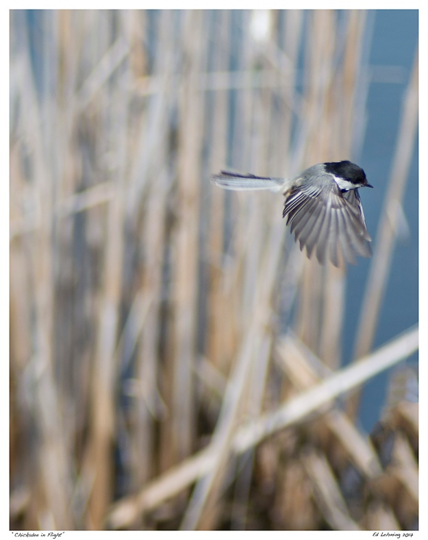 """Chickadee in Flight"""