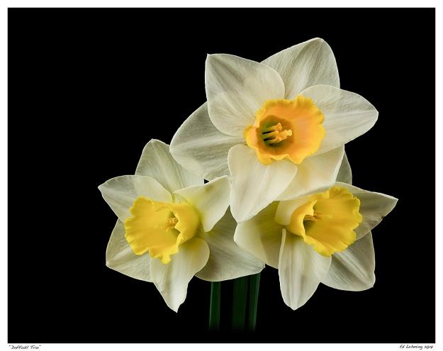 """""""Daffodil Trio"""""""