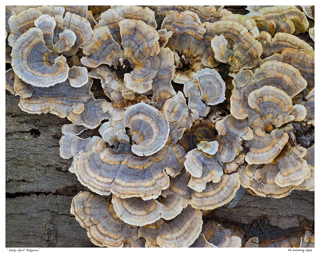 """""""Early April Polypore"""""""