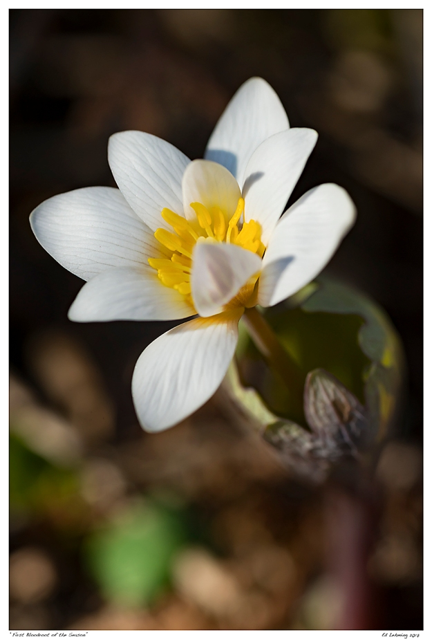 """First Bloodroot of the Season"""