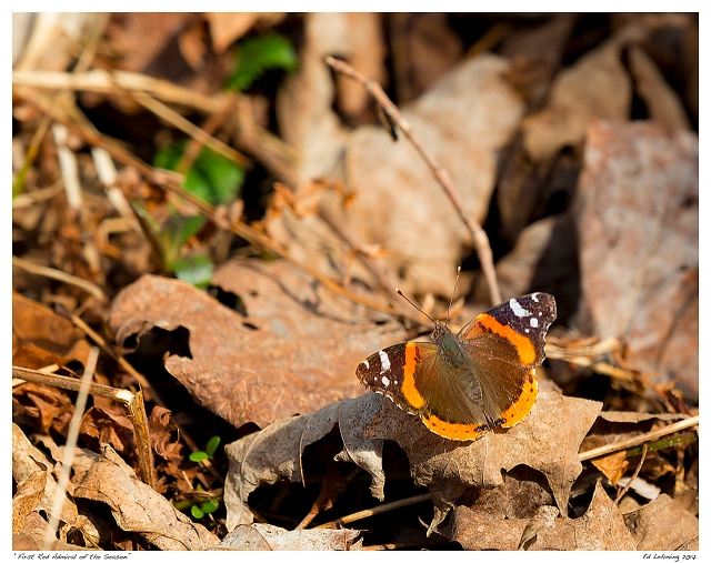 """""""First Red Admiral of the Season"""""""