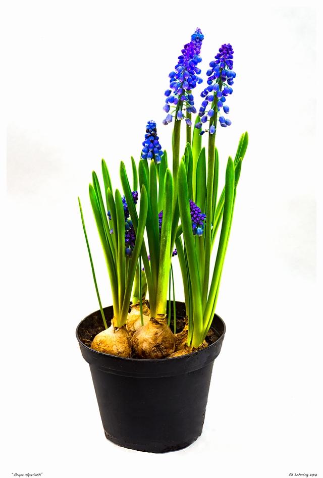 """""""Grape Hyacinth"""""""