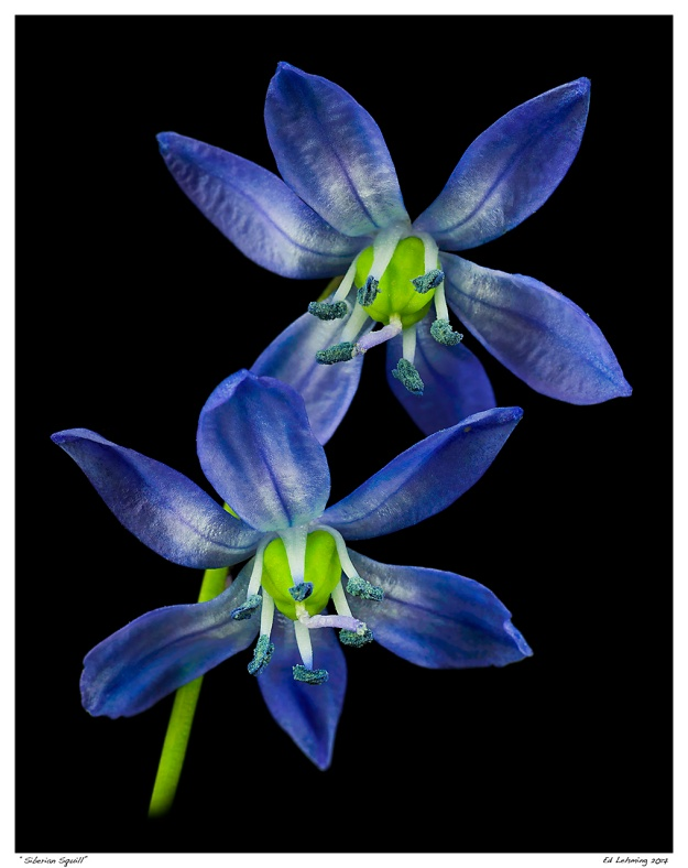 """Siberian Squill"""