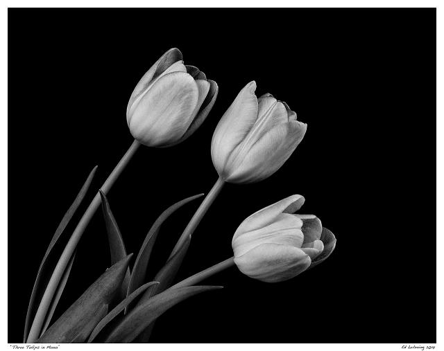 """Three Tulips in Mono"""