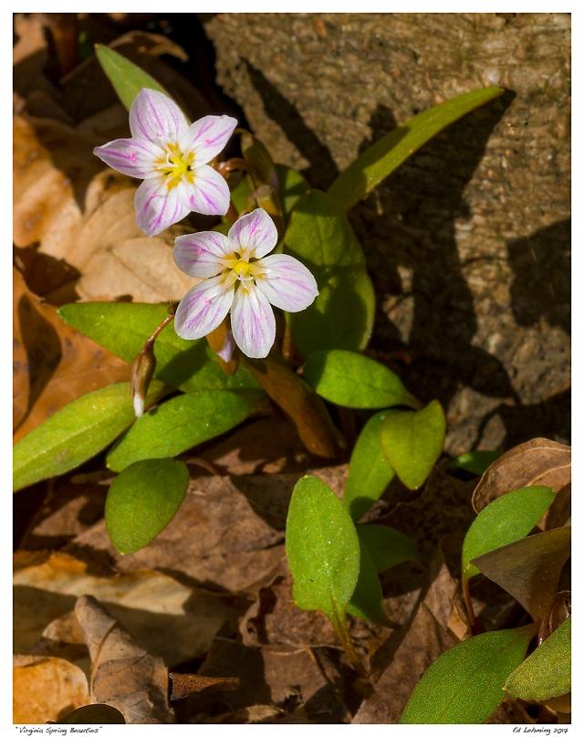 """Virginia Spring Beauties"""