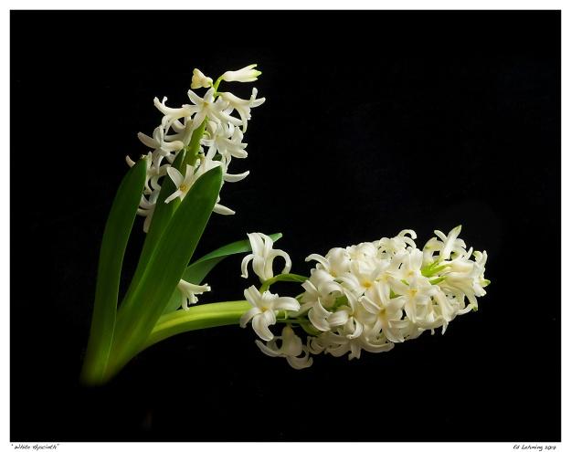"""""""White Hyacinth"""""""