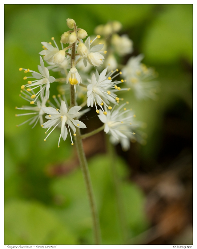 """""""Allegheny Foamflower - Tiarella cordifolia"""""""