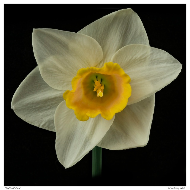 """""""Daffodil Face"""""""