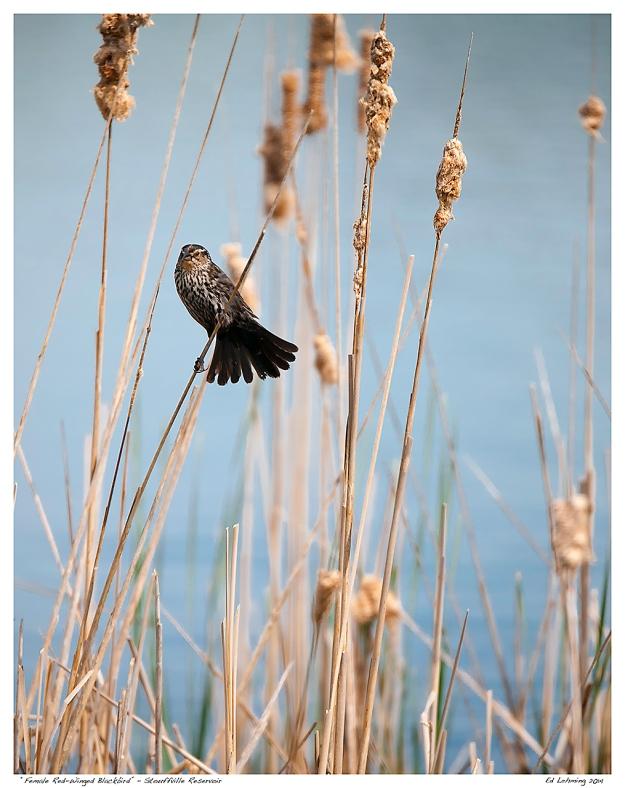 """""""Female Red-Winged Blackbird"""" - Stouffville Reservoir"""