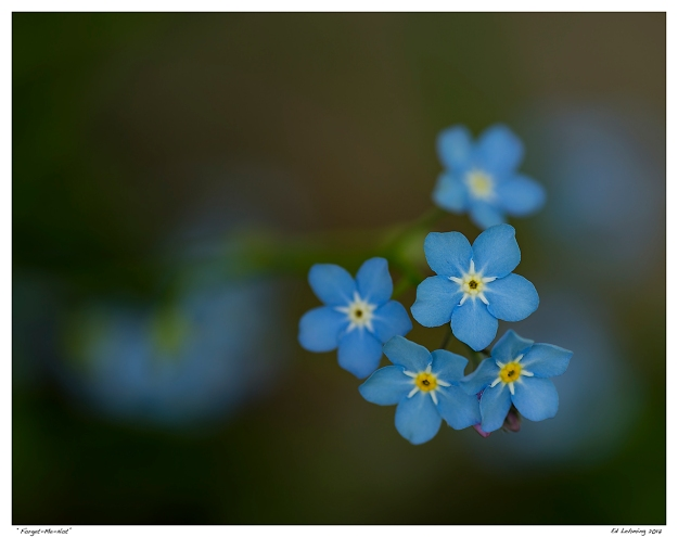 """Forget-Me-Not"""