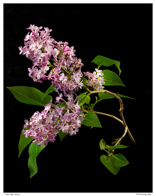 """Late May Lilacs"""