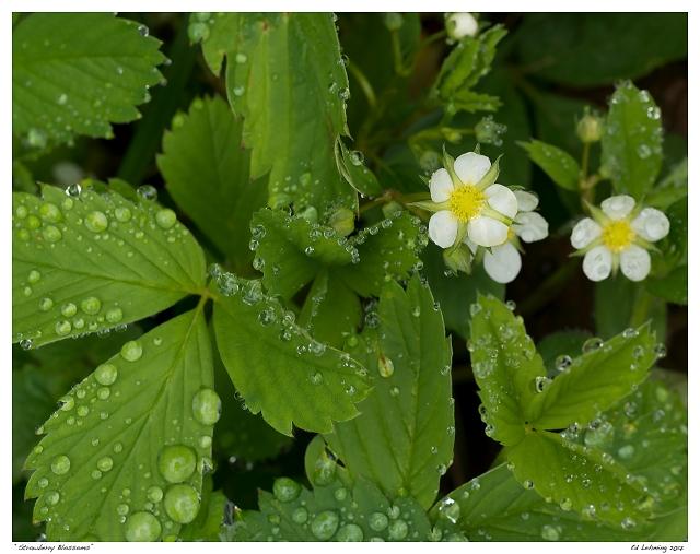 """Strawberry Blossoms"""