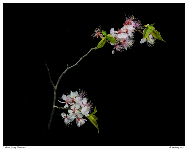 """Whispy Spring Blossoms"""