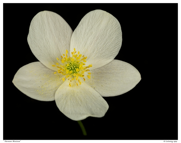 """""""Anemone Blossom"""""""