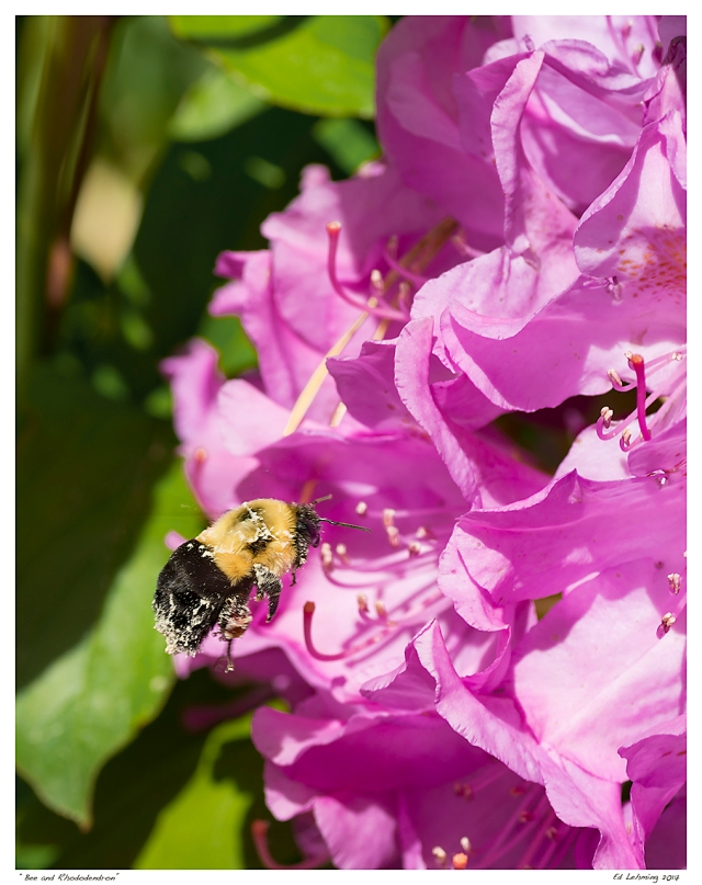 """Bee and Rhododendron"""