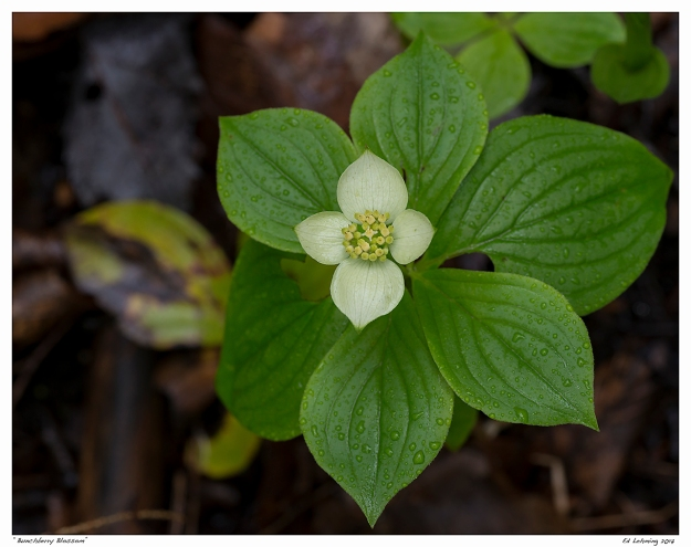 """Bunchberry Blossom"""