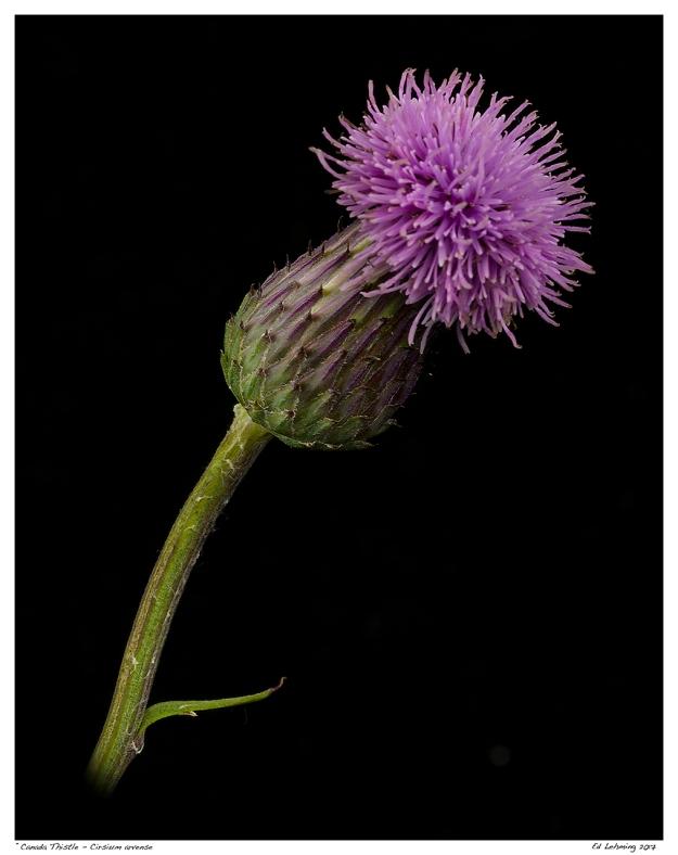 """""""Canada Thistle - Cirsium arvense"""