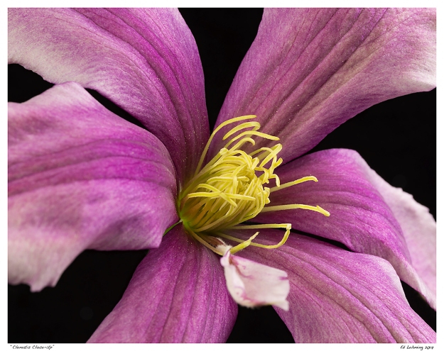 """Clematis Close-Up"""