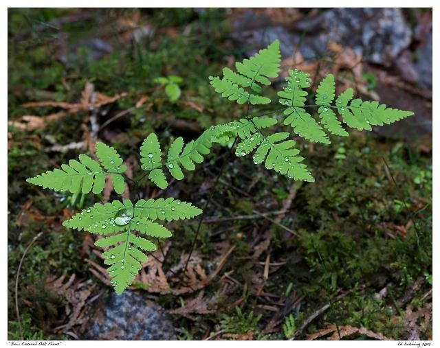 """Dew Covered Oak Ferns"""