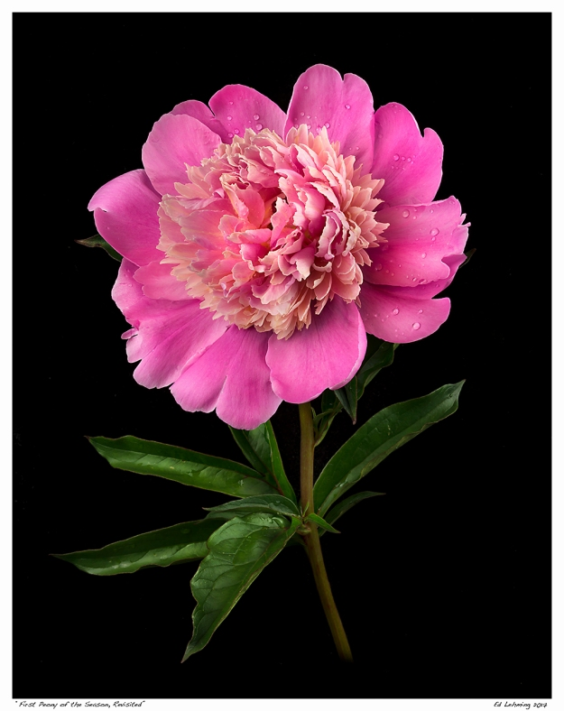 """First Peony of the Season, Revisited"""