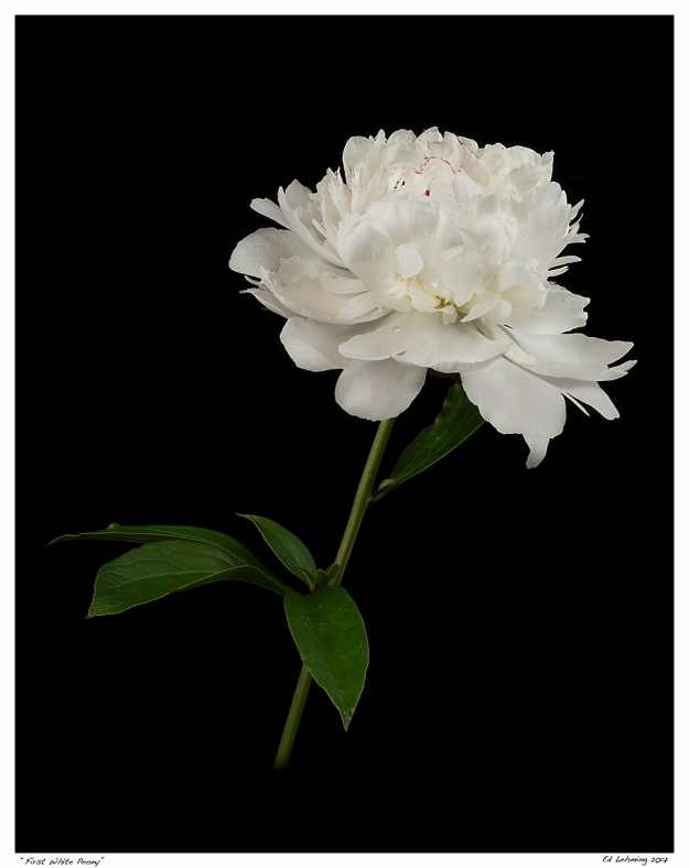 """First White Peony"""