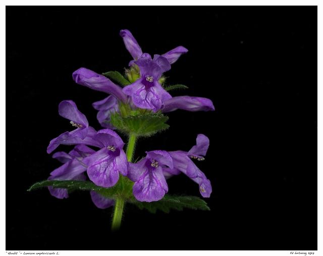 """""""Henbit """"- Lamium amplexicaule L."""