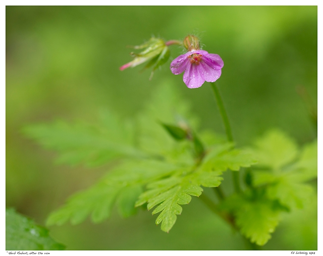 """Herb Robert, after the rain"