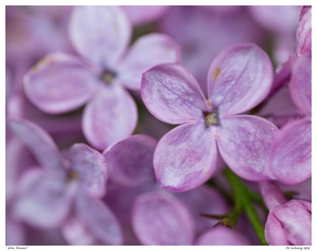 """""""Lilac Dreams"""""""
