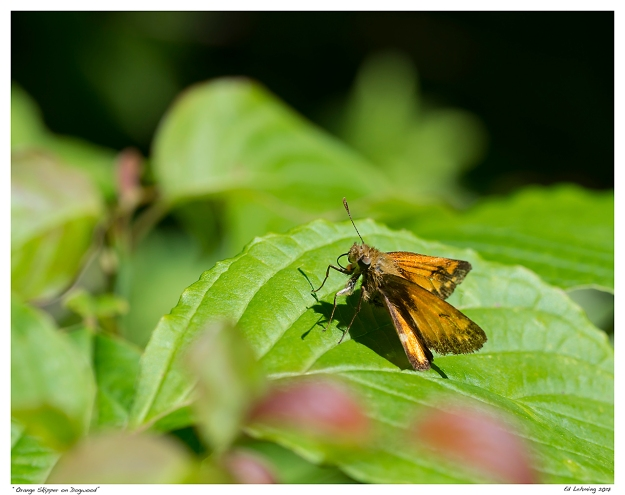 """Orange Skipper on Dogwood"""