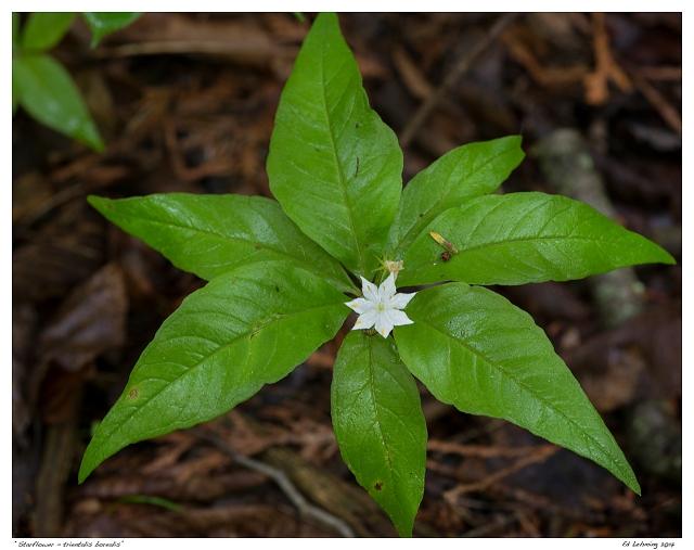"""Starflower - trientalis borealis"""