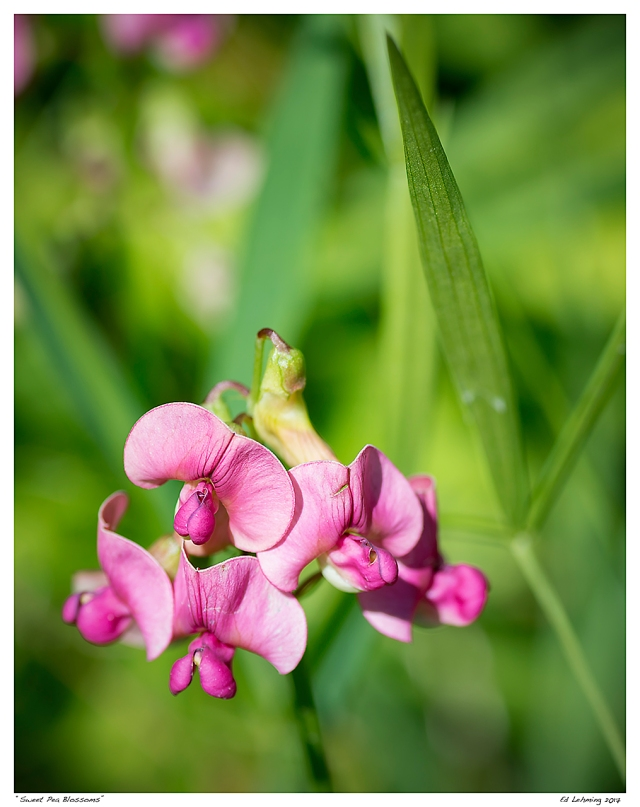 """Sweet Pea Blossoms"""
