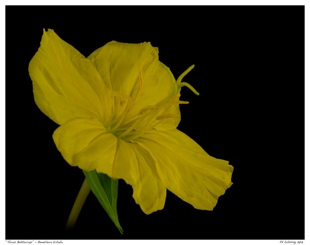 """Texas Buttercup"" - Oenethera triloba"