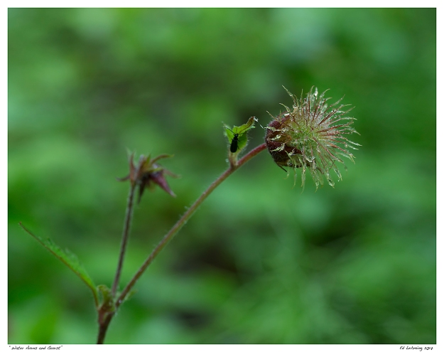 """Water Avens and Guest"""