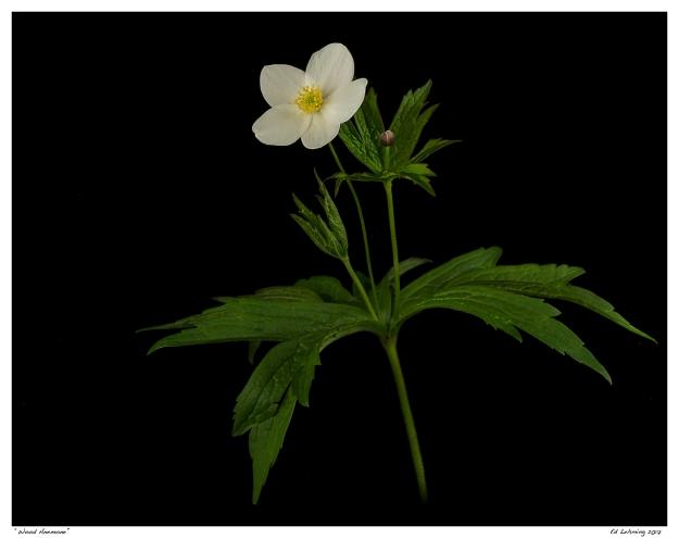 """Wood Anemone"""