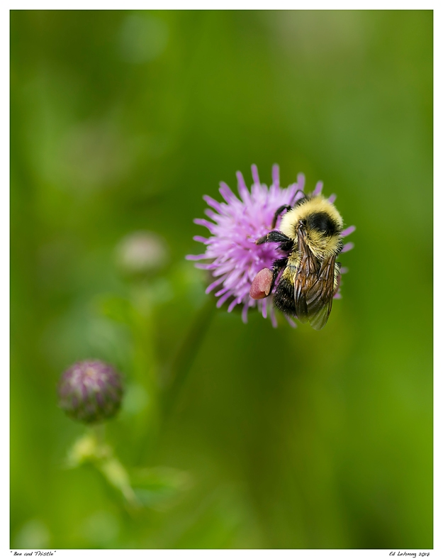 """Bee and Thistle"""