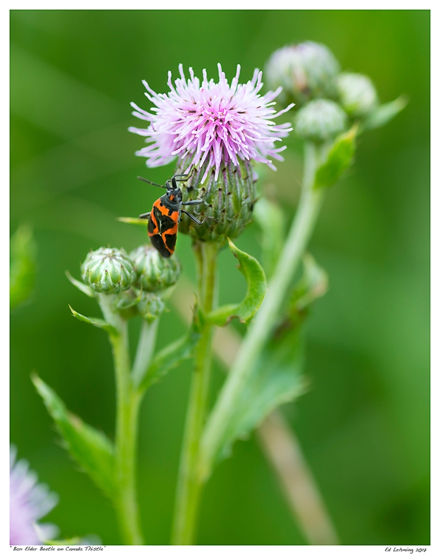 """Box Elder Beetle on Canada Thistle"""