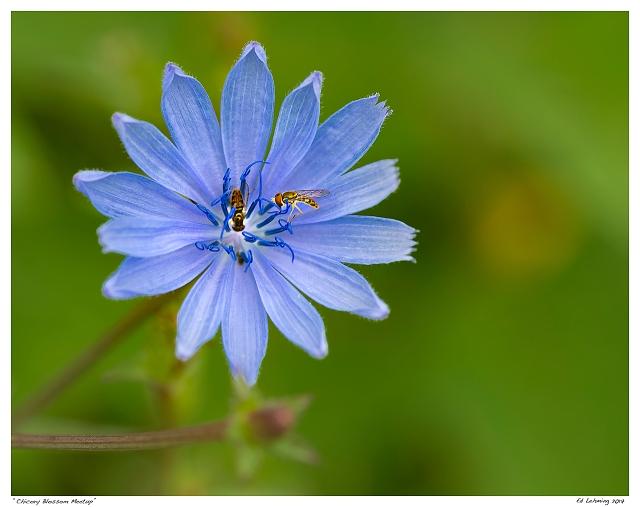 """Chicory Blossom Meetup"""