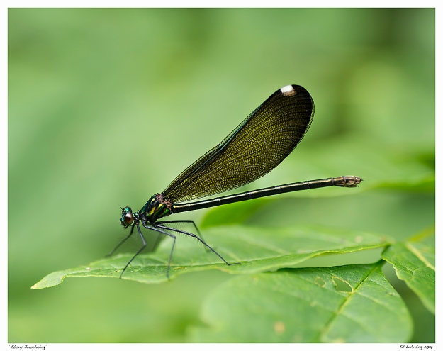 """Ebony Jewelwing"""