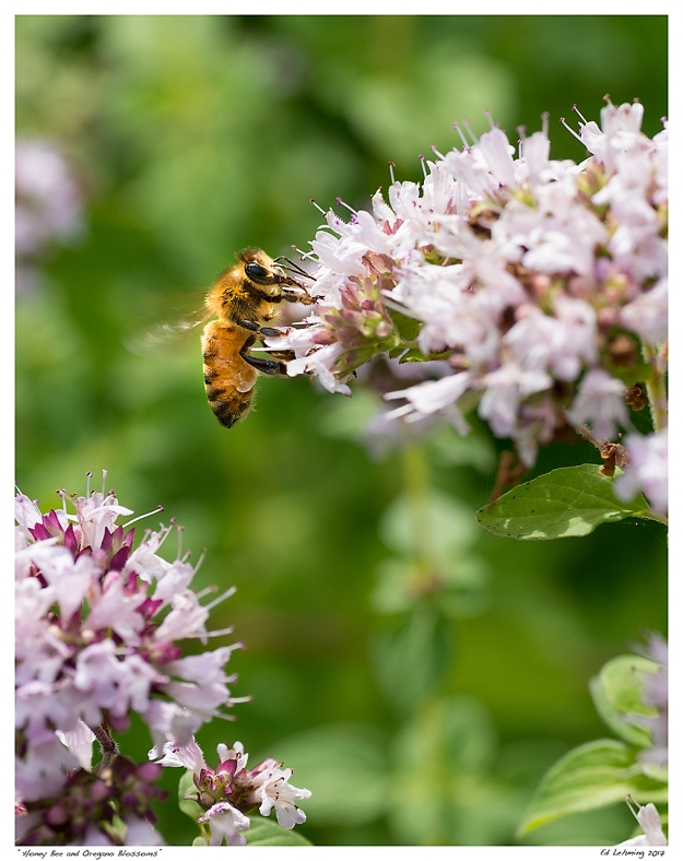 """Honey Bee and Oregano Blossoms"""