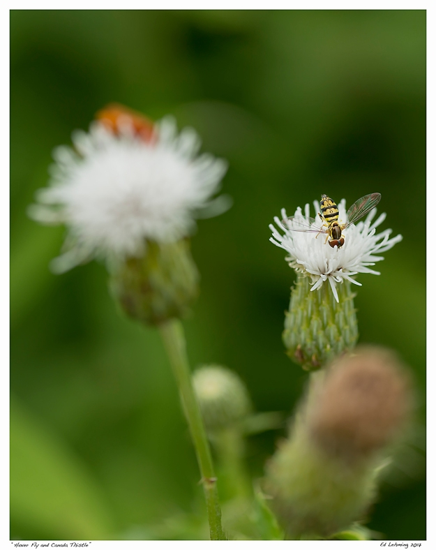 """Hover Fly and Canada Thistle"""
