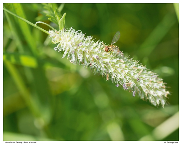 """Hoverfly on Timothy Grass Blossom"""