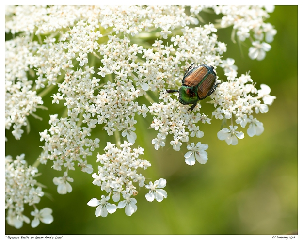 """Japanese Beetle on Queen Anne's Lace"""