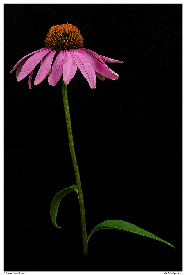 """Purple Coneflower"""