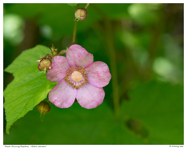 """Purple Flowering Raspberry  -Rubus odoratus"""