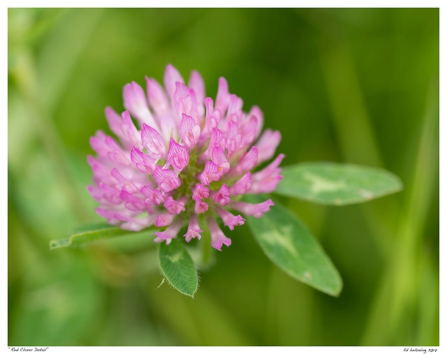 """""""Red Clover Detail"""""""