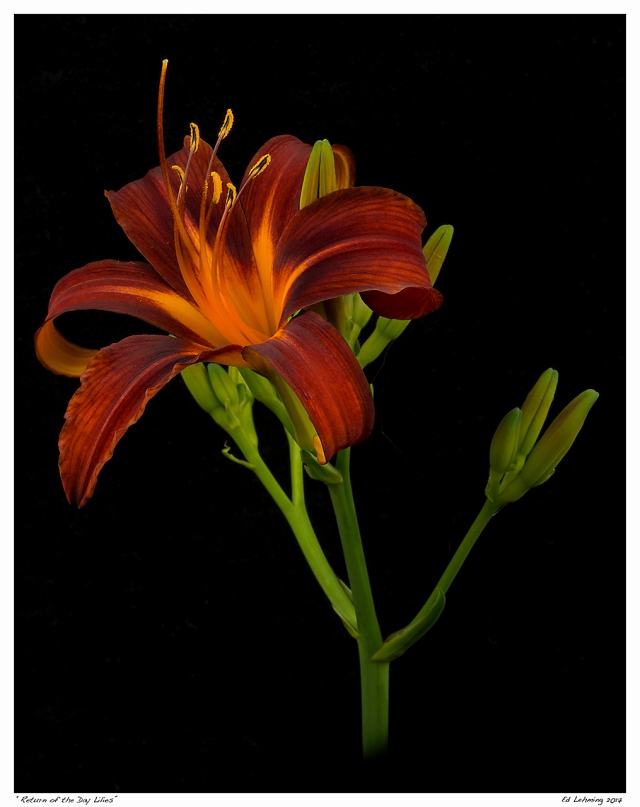 """Return of the Day Lilies"""