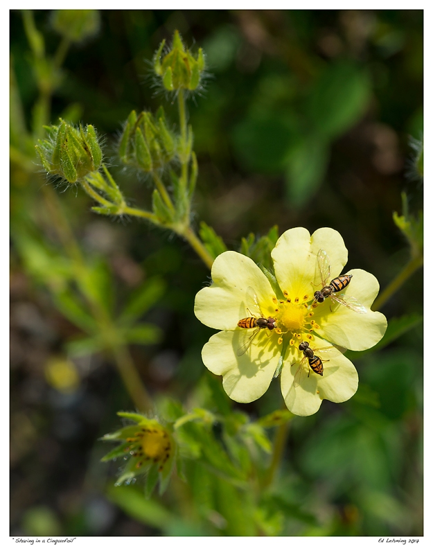 """Sharing in a Cinquefoil"""