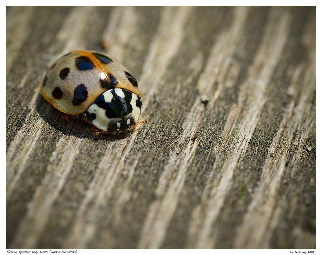 Fifteen-Spotted Lady Beetle (Anatis labiculata)