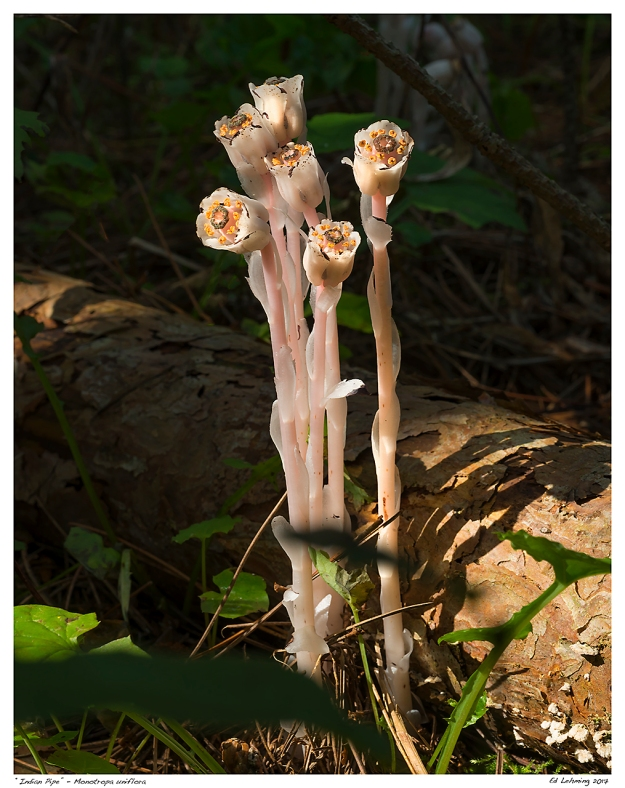 """Indian Pipe"" - Monotropa uniflora"