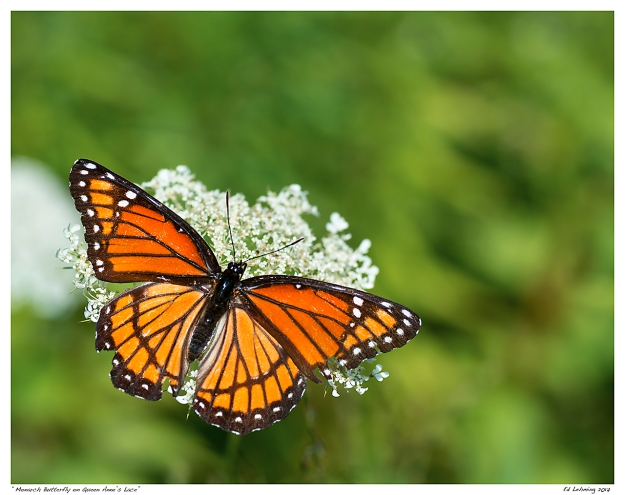 """Monarch Butterfly on Queen Anne's Lace"""
